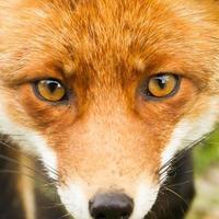 volpe rossa da vicino foto