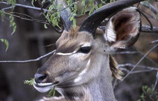 kudu foto