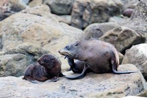 sigillo di pelliccia madre e il suo bambino sulla roccia foto