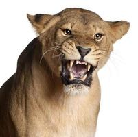 leonessa, panthera leo, ringhiando davanti a sfondo bianco