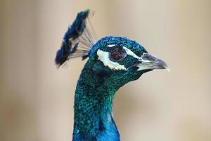 ritratto di pavone colorato