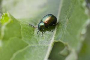 scarabeo di foglia del bacino