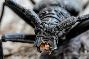 scarabeo della mucca texana