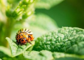 tiro a macroistruzione dell'insetto di patata sul foglio foto