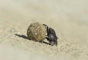 scarabeo stercorario che spinge sterco foto