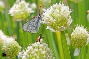 farfalla e scarabeo sulla cipolla verde lussureggiante