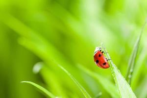 coccinella rossa su erba verde