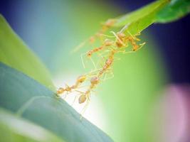 lavoro di squadra formica rossa in natura verde foto