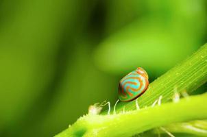 coccinella blu con striscia arancione foto