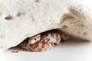 serpente sotto la roccia foto