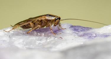 lo scarafaggio tedesco (blattella germanica) foto