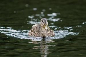 anatra di nuoto foto