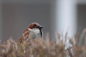 maschio lanuginoso del passero che protegge il suo territorio