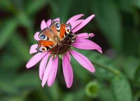 farfalla di pavone foto