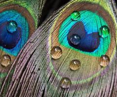 estratto di pavone