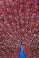 pavone con piume rosse