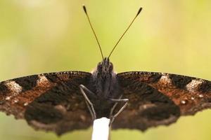 farfalla di pavone che riposa foto