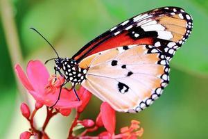 farfalla monarca colorata foto