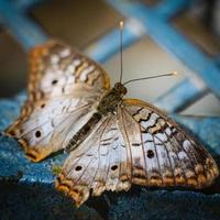 pavone bianco anartia jatrophae foto
