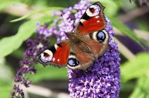 farfalla pavone seduto su un ramo di fiori buddleia