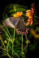 pavone di parigi (papilio paris paris), maschio, ali chiuse, profilo.