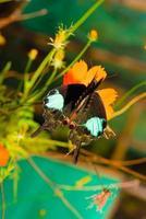 pavone di parigi (papilio paris paris), maschio, atterraggio.