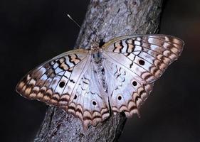 farfalla di pavone bianca