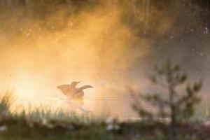lunatico dalla gola rossa nella nebbia foto