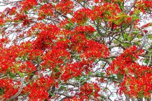 piena fioritura dei fiori dell'albero di fiamma foto