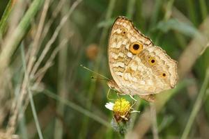 farfalla del pavone del pansy sul fiore