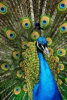 pavone maschio