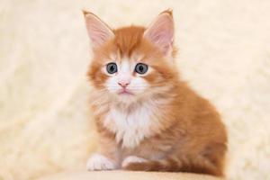 giovane gattino Coon Maine dai capelli rossi foto