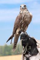 falco sulla mano dei falconieri