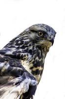 falco isolato su uno sfondo bianco