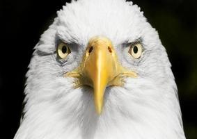 Ritratto di aquila calva da vicino con focus sugli occhi foto