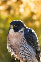 Falco pellegrino foto