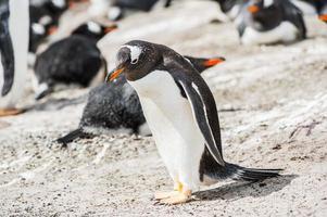 pinguini in Antartide foto