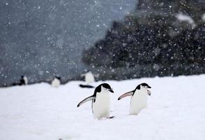 pinguini di sottogola che camminano sulla collina in una tempesta di neve