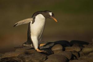 pinguino di Gentoo che salta dalle rocce