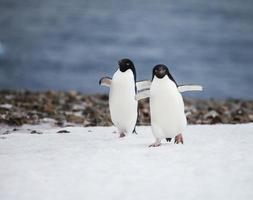 pinguino di Adelia