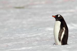 pinguino di Gentoo nella neve dell'Antartide foto