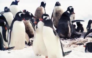 colonia di pinguini gentoo nella penisola antartica foto