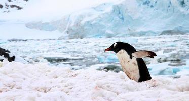 pinguino di Gentoo, isola di cuverville, Antartide foto