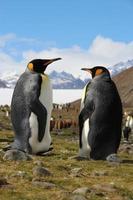 pinguini reali nella baia di fortuna, georgia meridionale