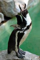 pinguino foto