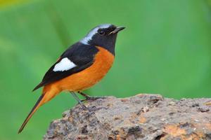 daurian redstart bird foto