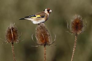 cardellino, carduelis cardueliss