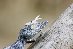 geco muschioso dalla coda a foglia (uroplatus sikorae) mimetizzato su un tre foto