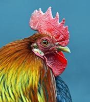 gallo ritratto foto