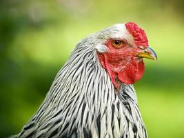 ritratto di gallo brahma foto